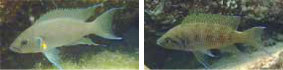 Cichlid in lake Tanganyika: mating systems, reproductive tactics are diverse among the cichlids.