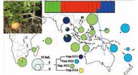 マイクロサテライトマーカーと葉緑体マーカーで示された、マングローブ植物の広域分布種ホウガンヒルギの遺伝構造 (Tomizawa et al. 2017)。
