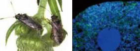 Left: Lygaeid seed bug, Nysius plebeius Right: A bacteriocyte of N. plebeius, harboring numerous symbiont cells)