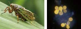 (左)イワサキクサゼミオス成虫と(右)共生真菌 (黄色は細胞壁)多くのセミ類は冬虫夏草に由来する真菌類と共生している
