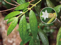 A new species, Lasianthus bokorensis Naiki (Rubiaceae) from Bokor National Park, Cambodia