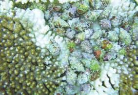 Coral-eating snail Drupella on Acropora coral.