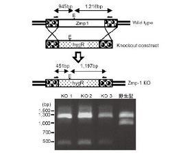 Fig. 1 結核菌の病原因子、Zmp1を薬剤耐性遺伝子(hygR)と置換して欠損(KO)させた結核菌 BCG株の作製。