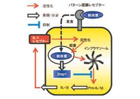 Fig. 3 結核菌が分泌する病原因子Zmp1による感染防御免疫抑制の模式図。Zmp1が感染マクロファージのNLRP3インフ ラマソーム依存的IL-1β産生とそれに引き続く殺菌活性増強を抑制する。