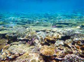 A coral reef around Okinawajima Island. Bacteria inhabiting corals or/and coral reef seawater are considered to play important roles in the formation and maintenance of coral reef ecosystem.